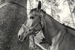 Horse hitched to a tree, black and white. A strong horse tied to a pine tree in the Sierra Nevada. The horse is used as part of a pack train to deliver campers Stock Photo