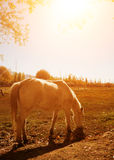 Horse at Holy Fish Pond during sunrise Royalty Free Stock Image