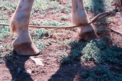 Horse hoofs a Royalty Free Stock Images