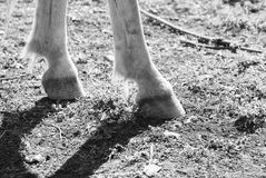 Horse hoofs. Photograph of a pair of horse hoofs Stock Photos