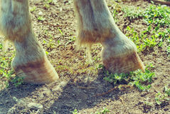 Horse hoofs. Photograph of a pair of horse hoofs a natural background Royalty Free Stock Photography
