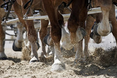 Horse Hooves in Action. Close-up of the hooves of a team of six Belgian Draft Horses as they work together to pull a carriage (shallow focus stock photography