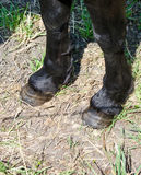 Horse hooves Stock Photography