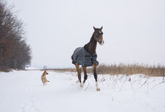 Horse in a horse-cloth checkered running on the snowy field with the dog Royalty Free Stock Photography