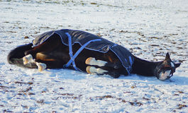 horse in a horse-cloth lying on the snowy field Royalty Free Stock Image