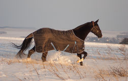 Horse in a horse-cloth run on the field. Black horse in a horse-cloth run on the field Royalty Free Stock Photos