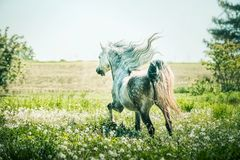 Horse with horse with a developing mane running gallop. On summer pasture stock image