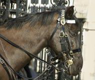 Horse at the horse guard parade. Horse at the horse guard parade, London stock photos