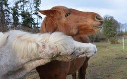Horse, Horse Like Mammal, Mane, Cattle Like Mammal Royalty Free Stock Image