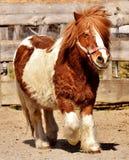 Horse, Horse Like Mammal, Mane, Mare Stock Photography