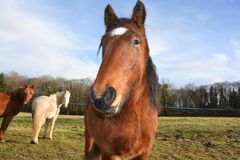 Horse, Horse Like Mammal, Mane, Mare royalty free stock photography