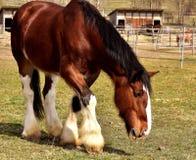 Horse, Horse Like Mammal, Mane, Mare Stock Photo
