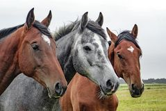 Horse, Horse Like Mammal, Mane, Mare Stock Image