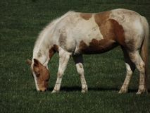Horse, Horse Like Mammal, Mare, Mane Stock Photo