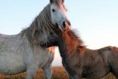 Horse, Horse Like Mammal, Mustang Horse, Mane Stock Photos