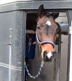 A horse in the horse trailer.  Stock Image
