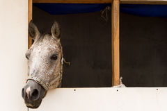Horse in a horsebox. Royalty Free Stock Photos