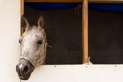 Horse in a horsebox. Royalty Free Stock Photos
