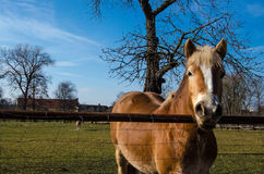 Horse horses. Brown Horse on a green meadow Royalty Free Stock Photo