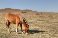 Horse. S graze on the grasslands of inner mongolia Royalty Free Stock Photography