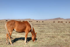 Horse. S graze on the grasslands of inner mongolia Royalty Free Stock Photos