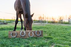 Horse without horseshoes in the pasture during the sunset. 4 horseshoes mounted on a wooden board. stock photo