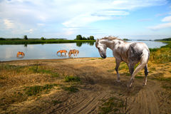 Horse hot day go to the river. Herd of horses in the hot summer grazing near river Stock Images