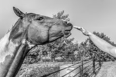 Horse. Human hand petting a horse Stock Photo