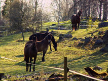 Horse in hycklinge Stock Images