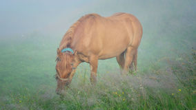 Horse. I have met this horse early in the morning in the one of Carpathians village - Lazeschyna Stock Photography