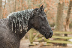 Horse with ice on mane and ears Royalty Free Stock Image