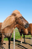 Horse in iceland Royalty Free Stock Photo