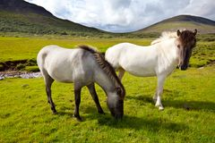 Horse in Iceland. Horse in mountains on the Iceland Stock Photography