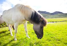 Horse in Iceland. Horse on grassland in the Iceland Stock Photo