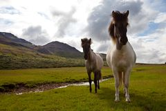 Horse in Iceland Royalty Free Stock Image