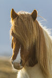 Horse. The Icelandic horse is a breed of horse developed in Iceland Royalty Free Stock Photography