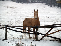 Horse In The Snow Stock Image