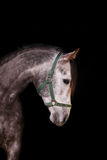 Horse indoors, on black Royalty Free Stock Photography