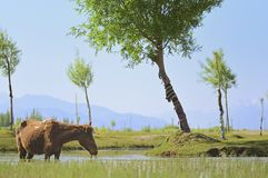 Horse and Indus river flowing through plains in Ladakh, India, royalty free stock photography