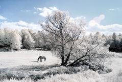 Horse In An Infrared Field Stock Photo