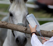 Horse injection. Young female veterinarian preparing injection for horse on farm Stock Images