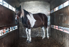Horse inside horse box trailer Stock Photo