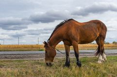 Horse with iron chain grazing on a roadside in central Ukraine at fall season Stock Photo