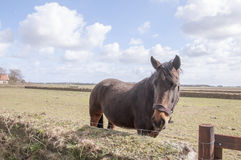 Horse on the island of Texel Stock Images