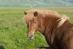 Horse in Islanda Stock Photo
