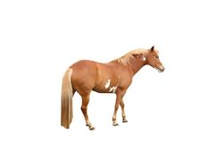 Horse isolated. A isolated picture of a sandy colored horse on white Stock Images