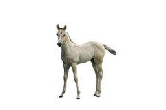 Horse isolated. A isolated picture of a white colt on white Stock Image