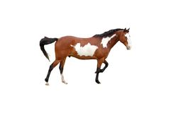 Horse isolated. A isolated picture of a brown pint horrse on white Stock Images