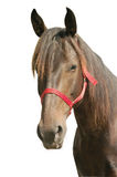 Horse isolated. Young mare isolated on white background Royalty Free Stock Image