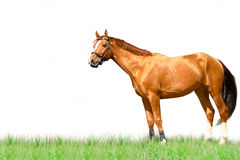 Horse isolated. On white background Royalty Free Stock Images